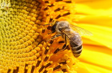 sensitivity Bee-on-sunflower
